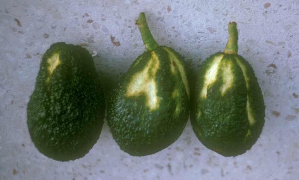 Fruit Symptoms Due To Sunblotch Viroid